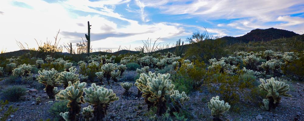 photo of Arizona desert, cactus, University of Arizona